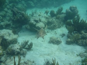 Dec 29: A turtle swimming through the coral.