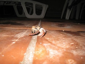 Dec 14: We're all fascinated by the little hermit crabs that show up on our patio most evenings.