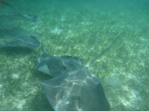 February 5: The southern stingrays were majestical.