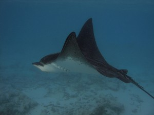 March 23: A spotted eagle ray similar to what we say.